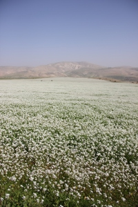 Flower field in the West Bank | 西岸地区の花畑