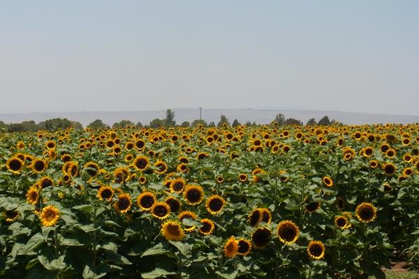 Sunflowers in the Golan Heights | ゴラン高原でみたひまわり